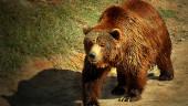 vista previa del artículo Cantabria hará seguimiento del oso pardo